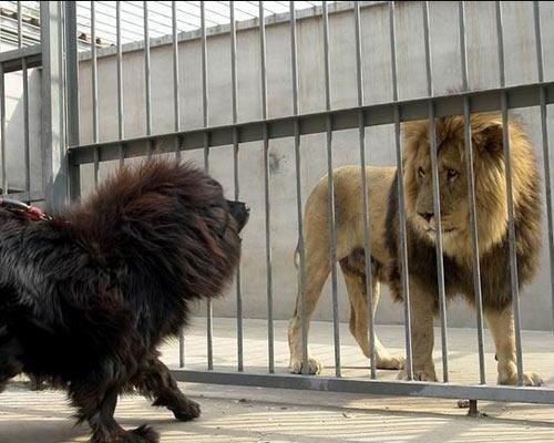 chó ngao và sư tử