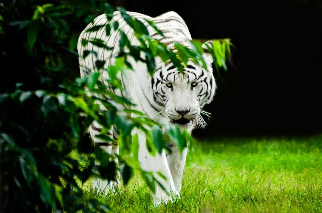 Tiếng nói chưa dứt, liền có một cơn gió lạ từ phía rừng sâu thổi tới, bỗng một con hổ trắng thình lình xuất hiện